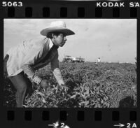 Mexican migrant worker harvests melons in Fresno (Calif.)