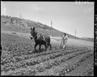 Mexican American farmer plows his field in Palos Verdes (Calif.)