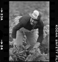 Mexican American agricultural laborers harvest lettuce