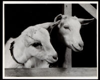 Two goats in a barn,1935-1940
