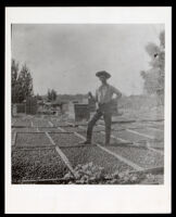 Fruit drying at Wiley Hinds' ranch, Visalia vicinity, 1880s-1890s