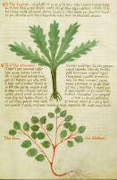 Yale Medical Library. Manuscript. 18 [Herbarium Apuleii and other works].