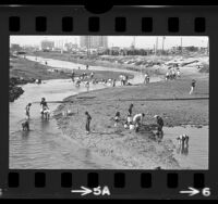 People clam digging along main channel of Venice canals near Marina Del Rey, Calif., 1973