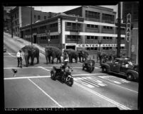 Elephants from Cole Brothers Circus crossing Olive Street with police escort in Los Angeles, Calif., 1953