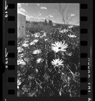 Clump of daisies in Elysian Park with distant view of downtown Los Angeles skyline, 1975