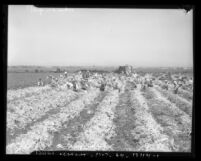 Japanese strikebreakers picking celery during vegetable strike in Los Angeles, Calif., circa 1936