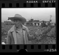 Jose Padilla with workers harvesting cauliflower in Delano, Calif., 1975