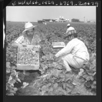Farm workers picking strawberries in patch adjacent to Torrance Airport, Calif., 1961