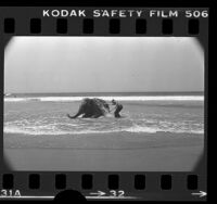 Circus Vargas elephant Lucy, escorted by trainer Bones Craig, taking a dip in ocean at Venice Beach, Calif., 1976