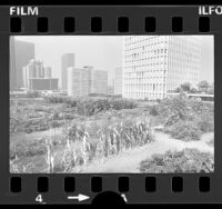 Urban garden in Bunker Hill with downtown buildings in background, Los Angeles, Calif., 1977