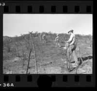 Fire crews casting ryegrass seed on burned out area of the Santa Monica Mountains, Calif., 1977