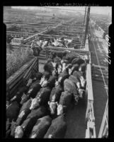 Man driving cattle through chute at Los Angeles Union Stock Yards, 1950