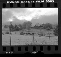 Horses feeding in snowy farmyard off Interstate 5 at Gorman, Los Angeles, 1978