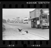 Couple of roosters along side of the Hollywood Freeway, Los Angeles, Calif., 1981