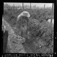 Bracero harvesting tomatoes at Placentia in Orange County, Calif.
