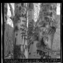 Trees along the San Gabriel River with words carved into their trunks, Calif., 1965
