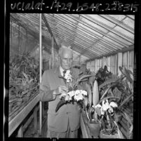 Curator Emeritus William Hertrich checking orchids in greenhouse at Huntington Botanical Gardens, Calif., 1965