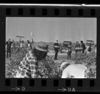 "Pickets along edge of grape field holding signs reading ""Huelga"" in Delano, Calif., 1965"