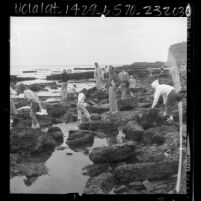 Adults and children searching the rocky shore during Tidepool Treasures Tour at Cabrillo Beach, Calif., 1966