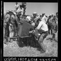 Ranchers branding, inoculating, and dehorning a calf at Rancho Mission Viejo, Calif., 1966