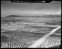 Aerial view of citrus crops in Rancho California, Temecula Valley, Calif., 1967