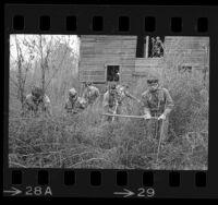 Six Boy Scouts cutting down marijuana plants in Council Bluffs, Iowa, 1969