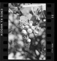 Close-up of leaves and berries of Catalina Manzanita tree on Santa Catalina Island, Calif., 1986