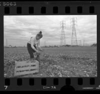 Patricia Baltazar harvesting field where Century Freeway will be built, Los Angeles, 1986