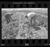 Benjamin Villanueva and Ramon Fernandez working in flower fields in Lompoc Valley, Calif., 1986