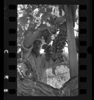 Agricultural laborer harvesting grapes in San Joaquin Valley, Calif., 1970
