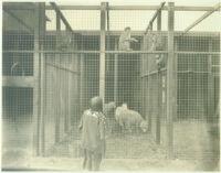 Girl at sheep and monkey pens at Universal City, Calif., 1915