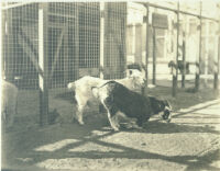Two goats in pen at Universal City, Calif., 1915