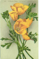"371 - California Poppy,  ""Copa De Oro"" (Cup of Gold)"