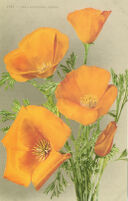 1985 - The California Poppy