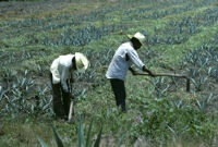 Oaxaca, farming the cropfields, 1982 or 1985