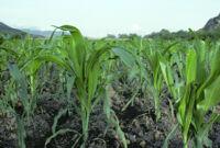 Oaxaca, cropfields, 1982 or 1985