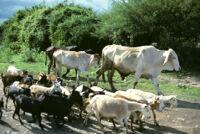 Oaxaca, farm animals, 1982 or 1985