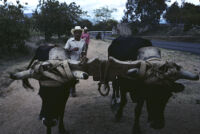 Oaxaca, pair of oxen on yoke, 1982 or 1985