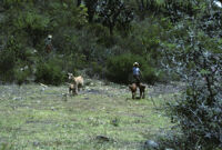 Oaxaca, goats in field, 1982 or 1985