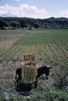 Oaxaca, horse holding baskets, 1982 or 1985