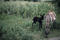 Oaxaca, mules and cornfield, 1982 or 1985
