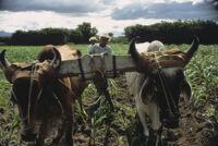 Oaxaca, pair of oxen on yoke, 1982 or 1985