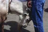 Oaxaca, goats, 1982 or 1985