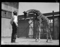 Man smiling at giraffe inside zoo enclosure.
