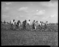 Men hoe lettuce at a community garden, circa February 1934.