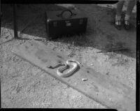 Four-foot black diamond rattlesnake, killed by a Persian housecat in Hollywood.