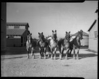Los Angeles County's prize-winning Belgian draft horses are sold at auction.  April 18, 1934.