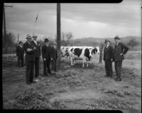 James J. Boyle, Rex Thomson, Lew Harwood, C.C. Talbot, and Culbert Olson pictured with cows at a cooperative, Los Angeles, 1930s