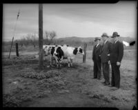 Three cooperative supporters pictured with cows, Los Angeles, 1930s