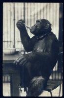 Postcard, with image of chimpanzee, from Aldous Huxley to Matthew Huxley [descriptive]